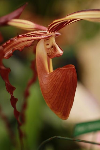 Lady Slipper Orchid, genus Paphiopedilum