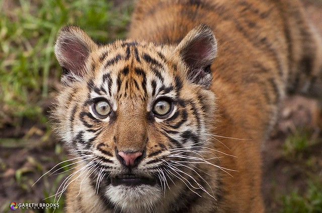 Sumatran Tiger Cub Portrait