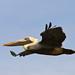 Flickr photo 'Pelican in Flight' by: GTMResearchReserve.