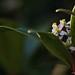 Flowering Bokeh (117/365)