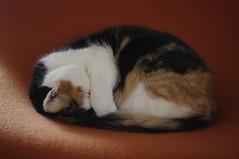 fluffy pile o' cat