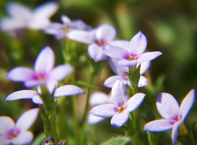 tiny blue weeds