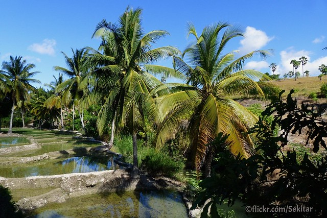 Rice terraces and coconut trees around B'odae, Sawu Timur