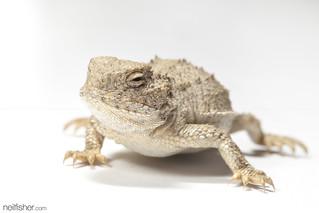 Greater short-horned lizard | by neil.fisher