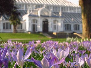 Crocuses at the Temperate House | by Laura Nolte