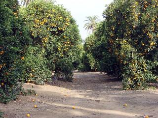 Orange Grove, Prospect Park, Redlands, CA 3-2012 | by inkknife_2000 (10.5 million + views)