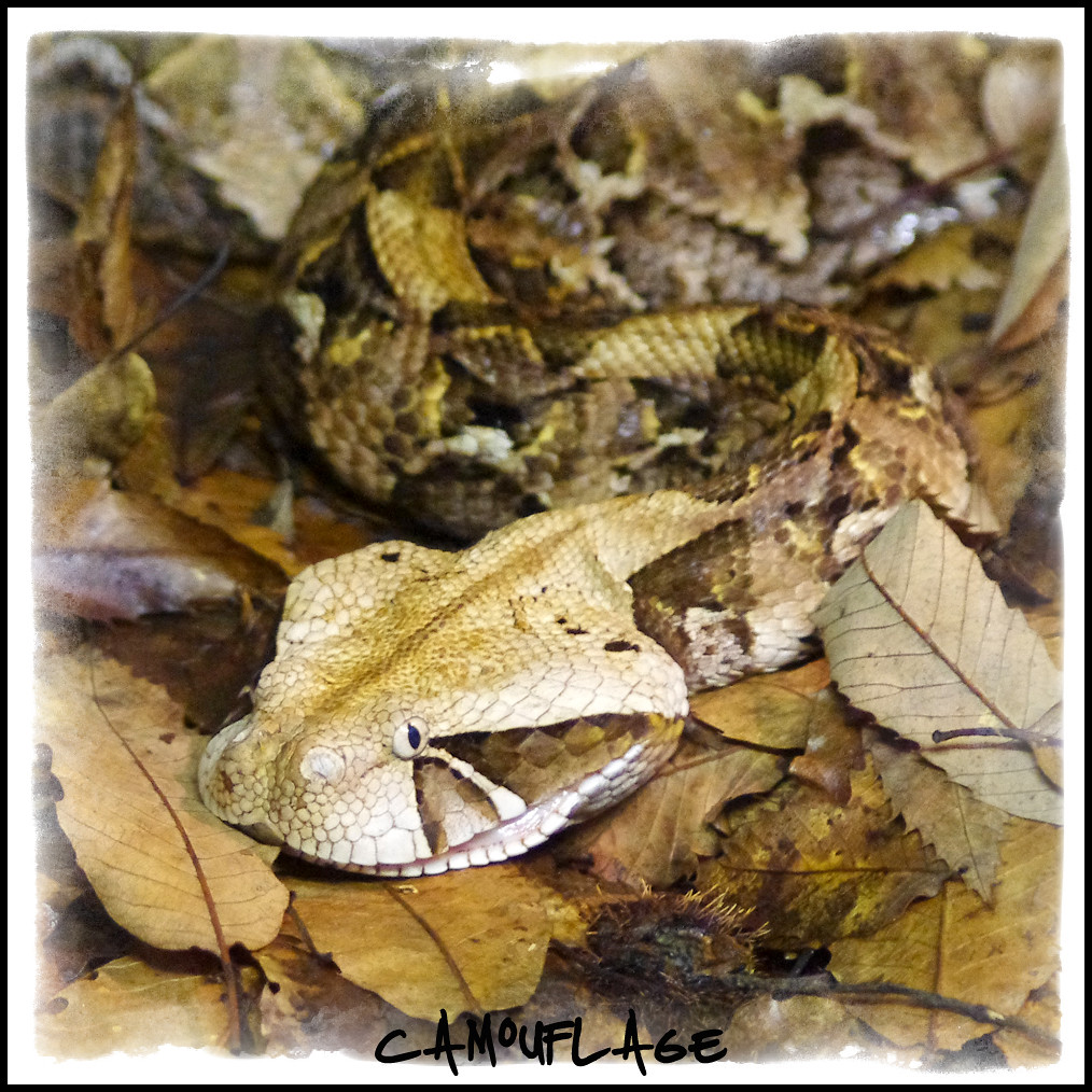 Camouflage | Perfect camouflage for this Gaboon Viper  Be ve