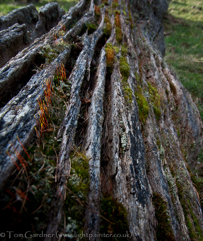 Decaying trunk of an old oak tree
