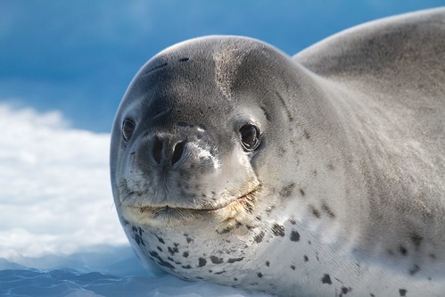 Leopard Seal | by Dioptrica