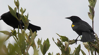 Two Yellow-shouldered Blackbird | by USFWS/Southeast