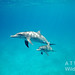 Bimini – delfíní máma s potomkem, foto: Atmoji ©WildQuest