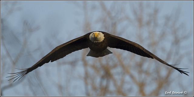 Bald Eagle (20120314-0984)