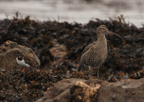Ruddy turnstone and Curlew | by Cyclingrelf
