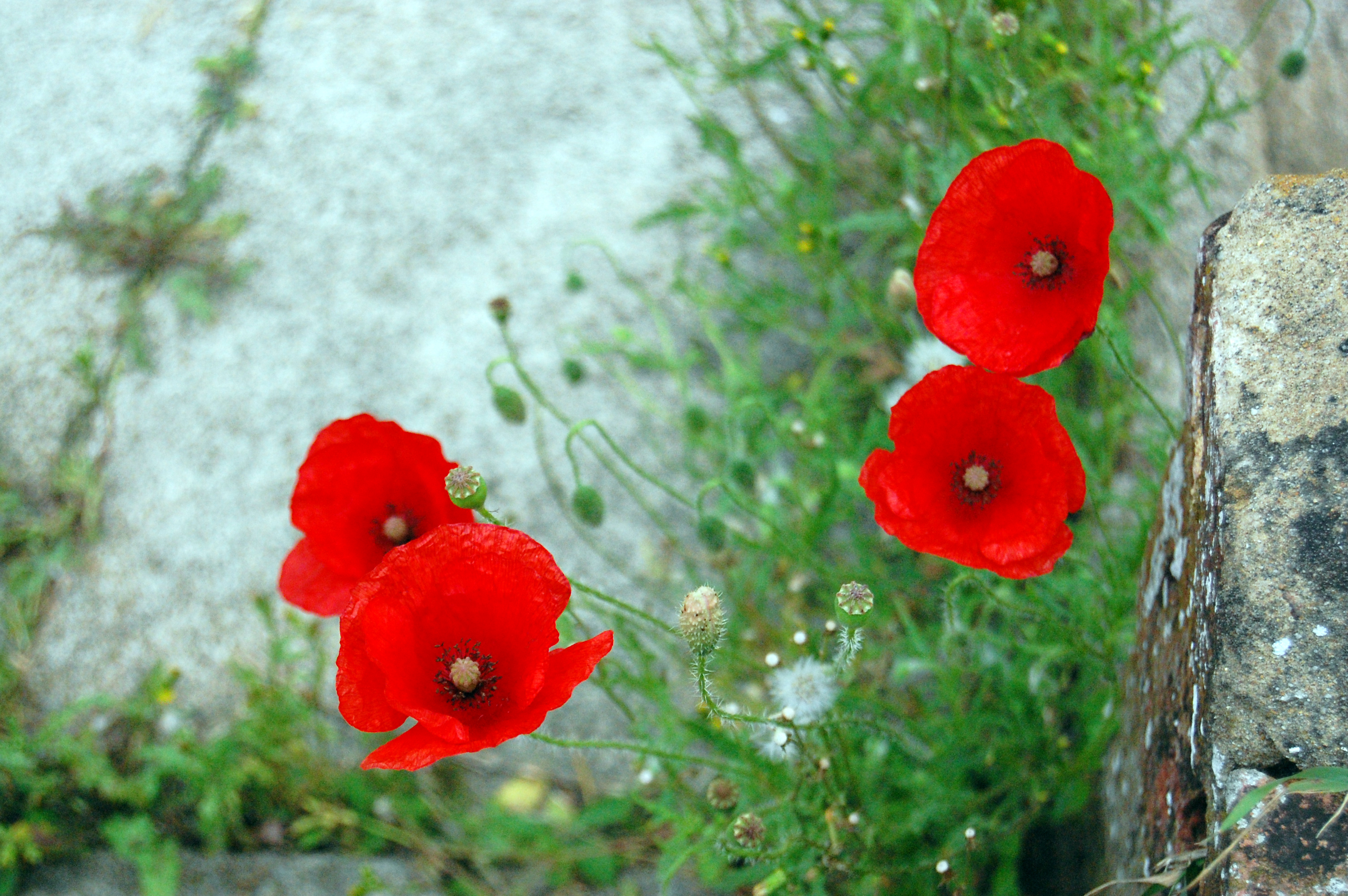 Poppies | Summer Flowers to plant now for a blooming garden | annuals that bloom all summer