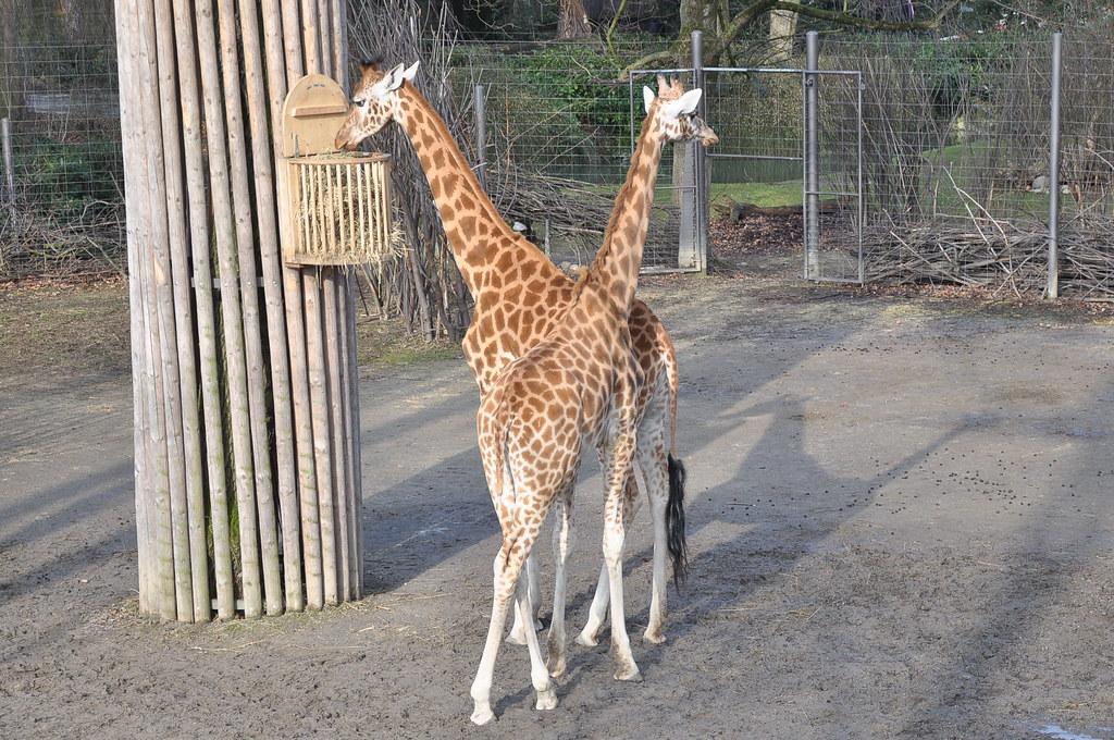 Kordofan Giraffe 20212 Ritsch48 Flickr