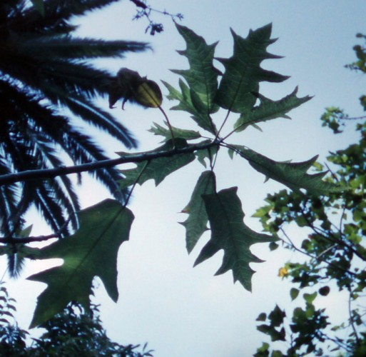 Carica quercifolia 6960888027_c7aca70ed5_o