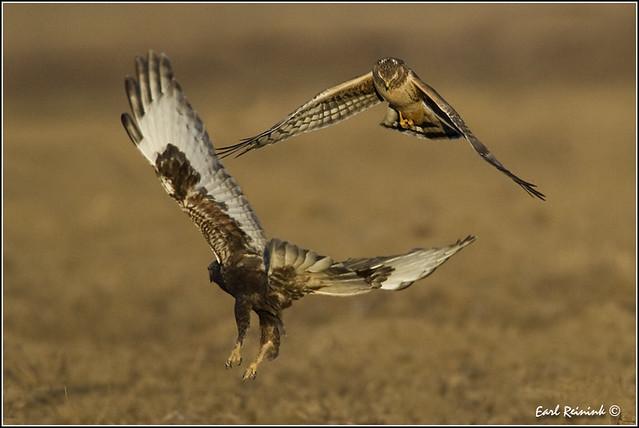 Northern Harrier Hawk (20120310-0223)
