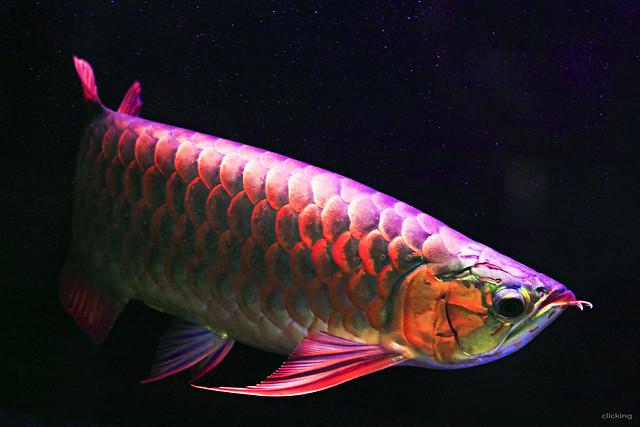 Super Red Asian Arowana Fish [ EXPLORED ]