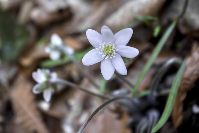 Hepatica nobilis, Wash Morgan Hollow, Jackson County, Tennessee