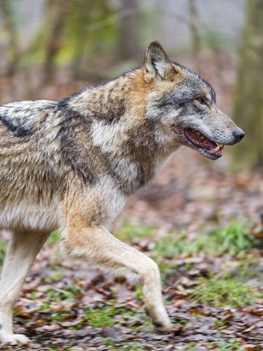 Profile of a walking wolf II | by Tambako the Jaguar
