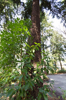 Young madrone with Douglas fir | by mfeingol