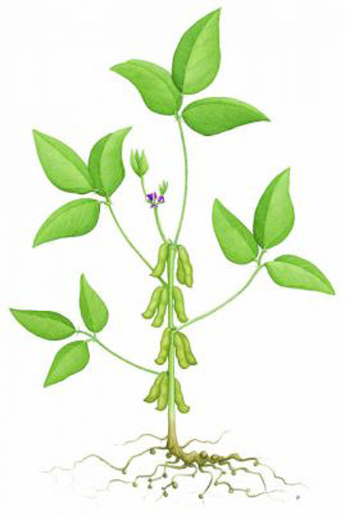 Diagram Of Soybean Plants