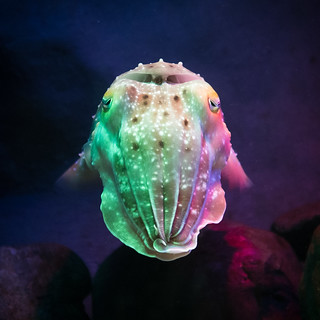Cuttlefish | by Peter Hellberg