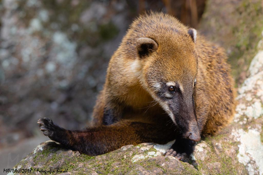 Quati (Nasua nasua) - South American Coati