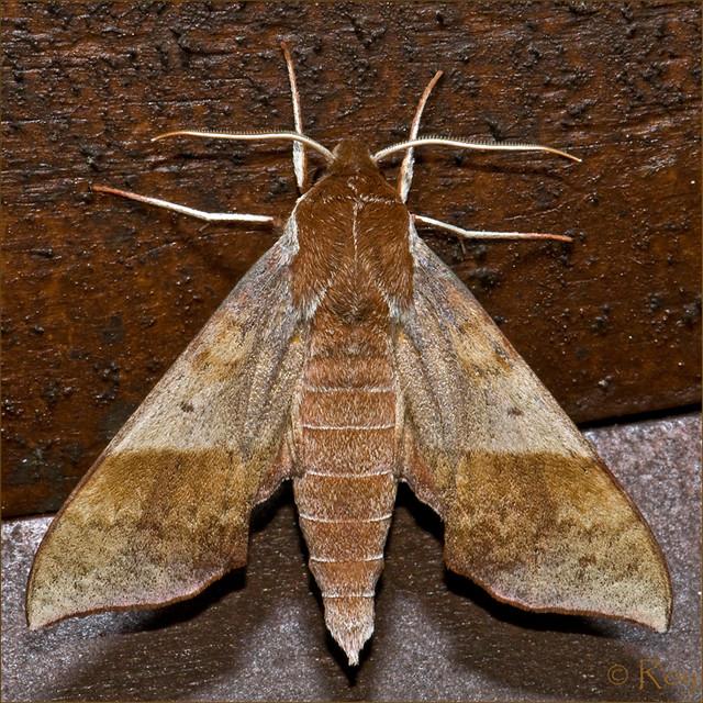 7886 - Azalea Sphinx