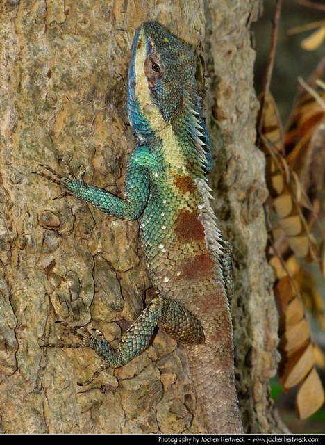 Oriental Garden Lizard, Lopburi, Thailand