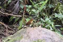Yellow-breasted-antpitta
