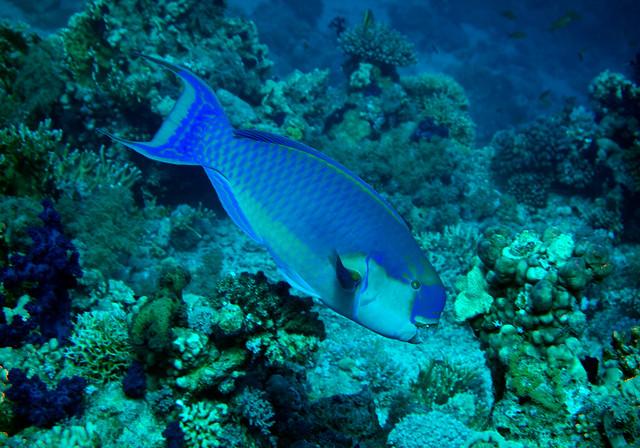 Steepheaded Parrotfish, Scarus gibbus, Shark Reef, Ras Muhammad, Red Sea