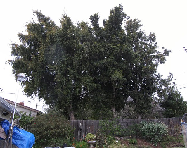 IMG_0359_2 120225 dressler eugenia australian cherry trees before thinning ICE rm stitch99