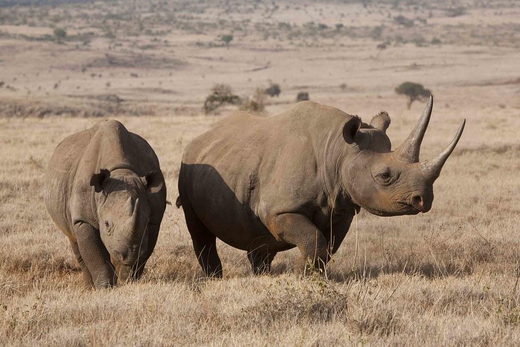 photo of black rhino
