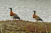 Ashy-headed Geese by Peppar Photos