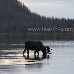Moose in Red Eagle Lake