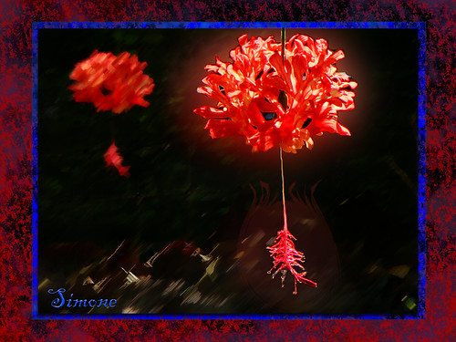 blue red sun flower photoshop garden zoo heart earth digitalart hibiscus frame shrub shining floweringshrub hibiscusschizopetalus coralhibiscus zoopalmbeach 20120329southflorida