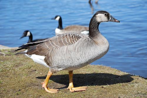 Graylag-Canada Goose hybrid | by RuudVisser