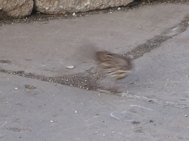 Song Sparrow Foraging