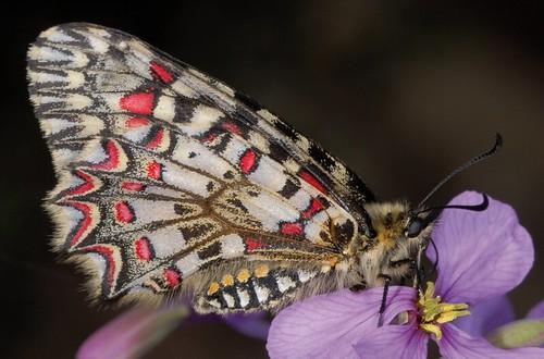 """<p>Nombre vulgar: Mariposa de las aristoloquias.<br /> Observaciones: Especie protegida.<br /> Clasificada como """"De interés especial""""</p>"""