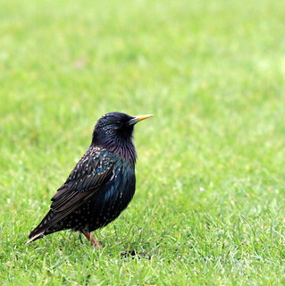 Starling | by Shelley & Dave