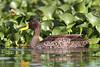 Yellow-billed Duck 111117 Anas undulata by Langham Birder