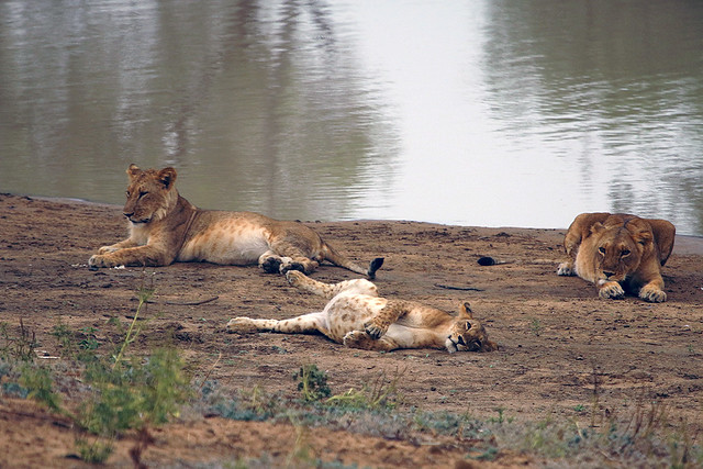Lion pride by the Salamat River in Zakouma National Park