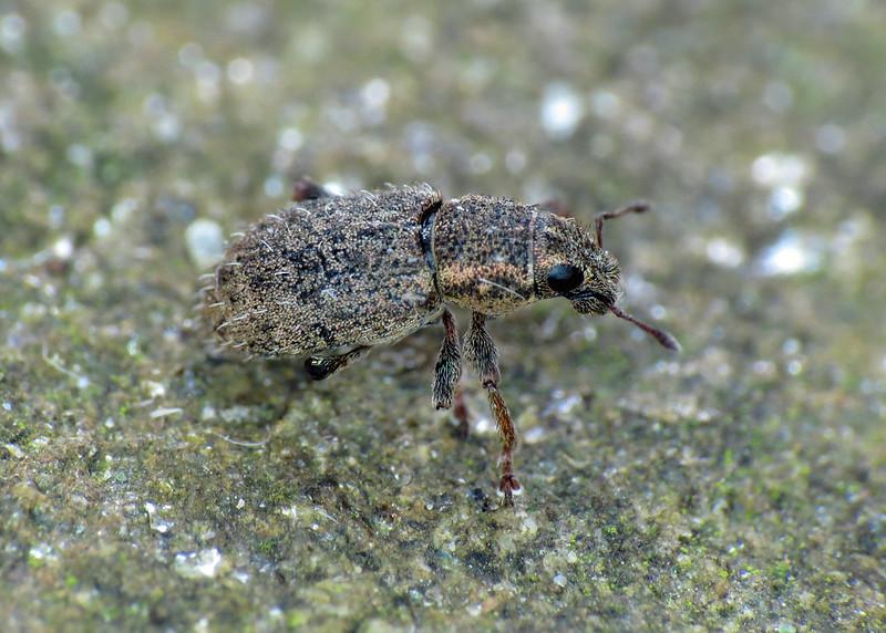 Weevil - Sitona hispidulus