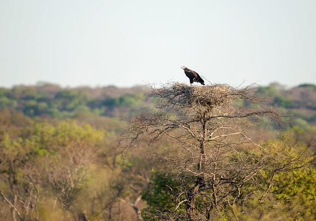 Lappet-faced Vulture, Torgos tracheliotus, Cawston Wildlife Estate, Matabeleland, Zimbabwe