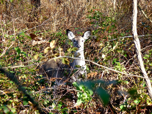 White-tailed doe | by USFWS/Southeast