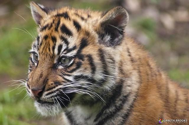 Chester Zoo Sumatran Tiger Cub