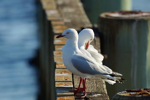 Pair of silver gulls, Melbourne | by Joe Lewit