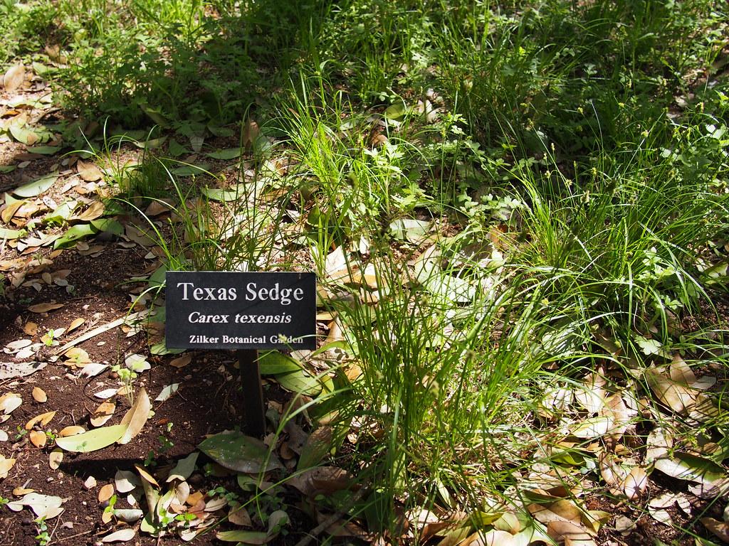 Hartman Prehistoric Garden Texas Sedge Carex Texensis Flickr