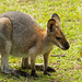 Wallaby 3